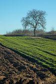 Tree on a field — Stock Photo