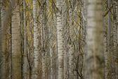 árboles de un bosque — Foto de Stock