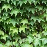 Ivy background — Stock Photo