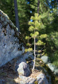Small pine — Stock Photo