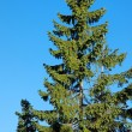 Pine Tree — Stock Photo #5192305