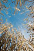麦畑 — ストック写真