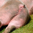Resting pig backside — Stock Photo