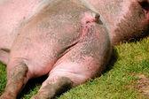 Resting pig backside — Stok fotoğraf