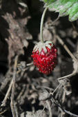 The wild strawberry — Stock Photo
