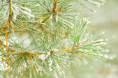 Snow on pine branches — Stock Photo