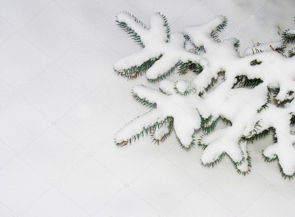 Fur tree branch  under a snow — Stock Photo #4906218
