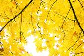 黄叶子的枫树 — 图库照片