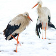 Two storks - Stock Photo