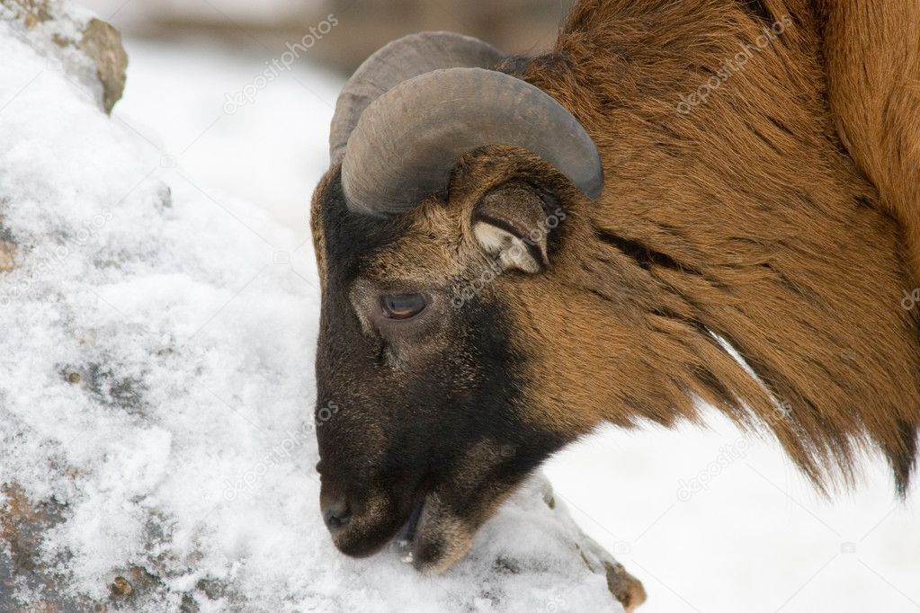 Bighorn sheep eating snow — Stock Photo #5226090