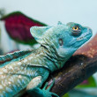 Lizard - Stock Photo