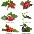 Hawthorn, rowan berry, dogrose,  arrowwood, bird cherry, black c - Stock Photo