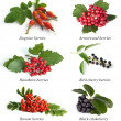 Hawthorn, rowan berry, dogrose,  arrowwood, bird cherry, black c — 图库照片