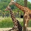 Giraffes - Lizenzfreies Foto