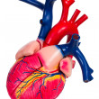 Human heart, anatomical model - Stock Photo