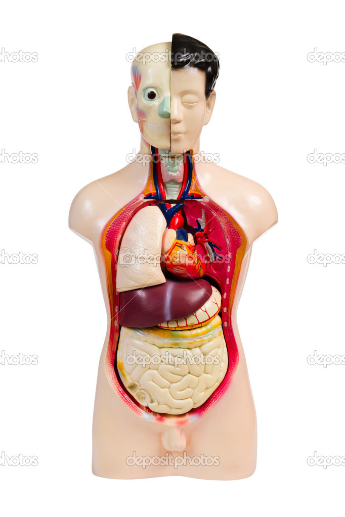 Plastic human anatomy model, isolated on white — Stock Photo #4528601