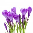 Stock Photo: Spring flowers, crocus, isolated