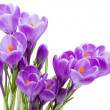 Spring flowers, crocus, isolated — Stock Photo #5185162