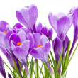 Spring flowers, crocus, isolated - Stock Photo