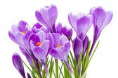 Wiosenne kwiaty, Krokus, na białym tle — Zdjęcie stockowe