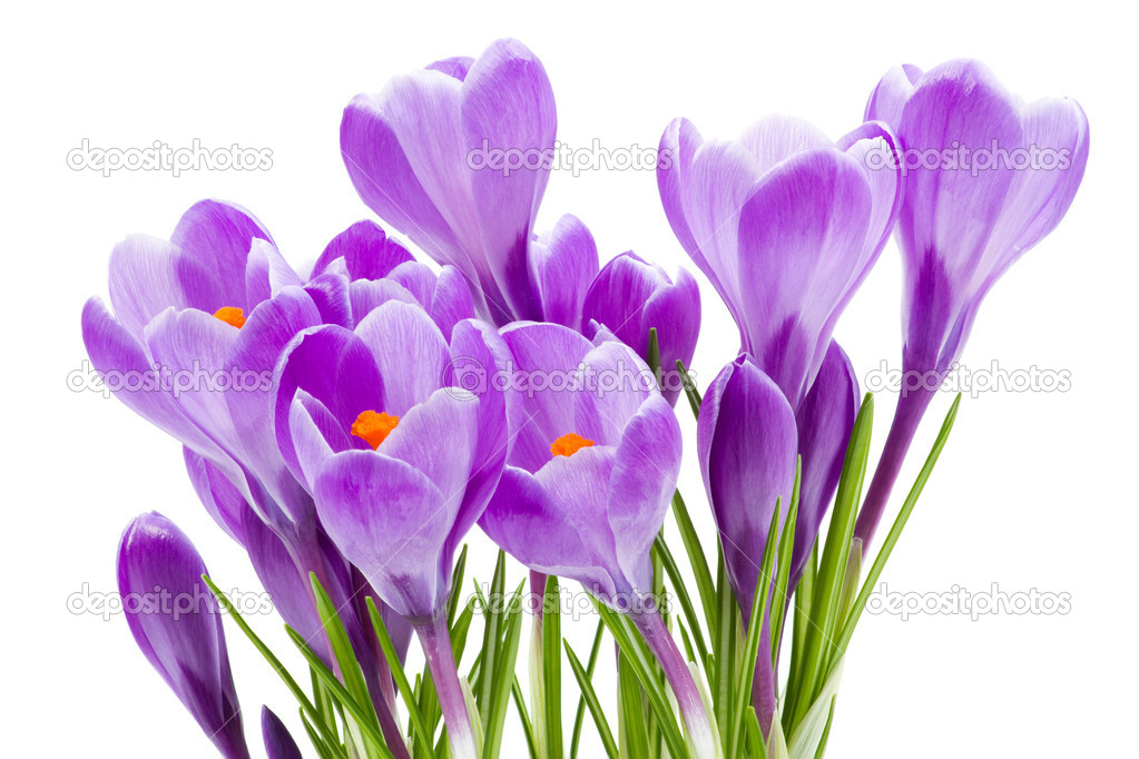 Spring flowers, crocus, isolated on white — Stock Photo #5236641