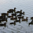 Ducks in lake - Stock Photo
