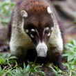 Stock Photo: Small mammal from belize zoo