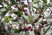 Coffee blossom — Stock Photo