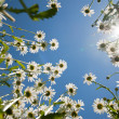 White chamomiles against blue sky and sun — Foto Stock