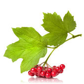 Berries of red Viburnum with leaves isolated on white — Photo