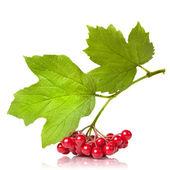 红色琼花与叶上白色隔离的浆果 — 图库照片
