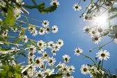 White chamomiles against blue sky and sun — Stock Photo