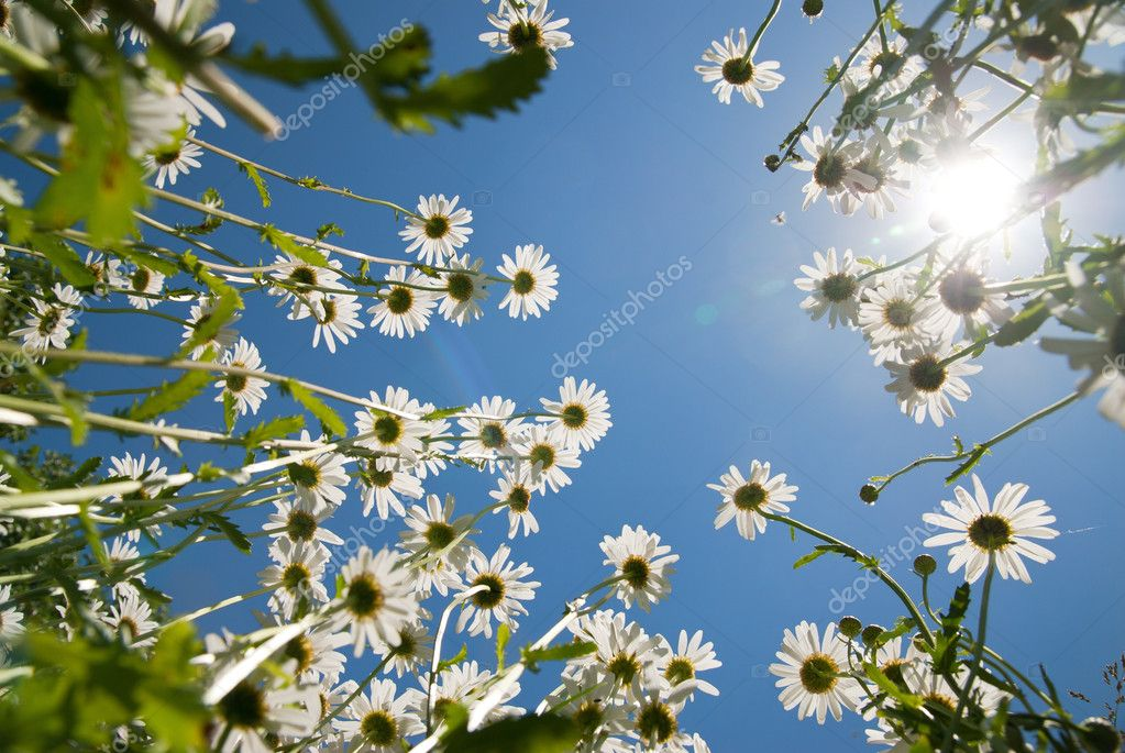 White chamomiles against blue sky and sun — Stock Photo #3974657