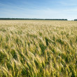 Meadow with wheat - Stock Photo