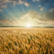 Foto Stock: Wheat field on sunset