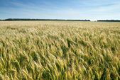Meadow with wheat — Stock Photo