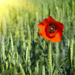 Poppy on field of green wheat — Stock Photo