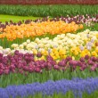 Stock Photo: Colorful Dutch tulips in Keukenhof park
