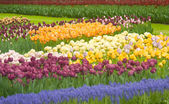 Colorful Dutch tulips in Keukenhof park — Stock Photo