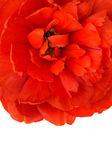 Macro of red tulip bud isolated — Stock Photo