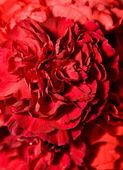 Beautiful carnation flower bud — Stock Photo