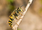Large Wasp on thin branch — Stock Photo