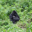 Mountain gorilla sitting in the bush — Stock Photo