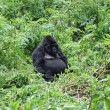 Постер, плакат: Mountain gorilla sitting in the bush