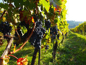Rows of grapes in a vineyard — Stock Photo
