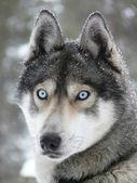 Blauwe ogen husky hond — Stockfoto