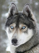 Blue eyes husky dog — Stock Photo