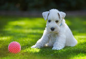 White schnauzer puppy — Stock Photo