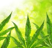 Green marijuana leaves — Stock Photo