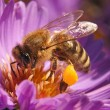 Honey bee — Stock Photo